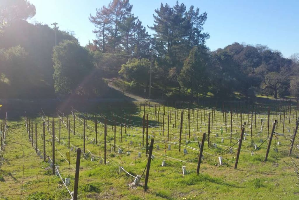 New petit verdot vineyard