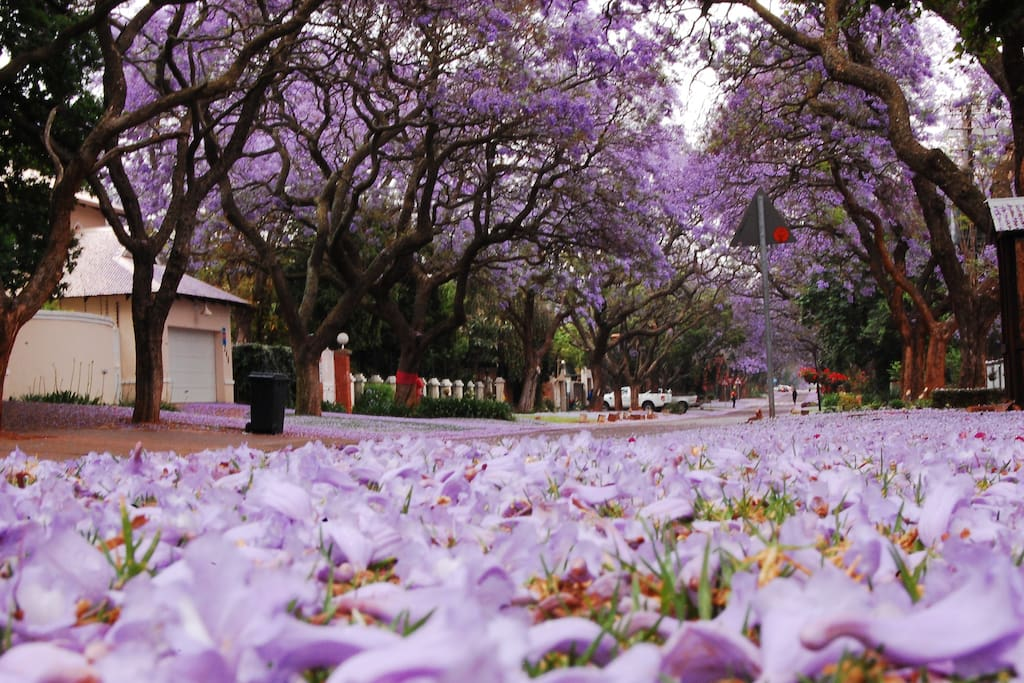 The world famous Jacaranda Trees in our Street. Pretoria is also known as the Jacaranda City