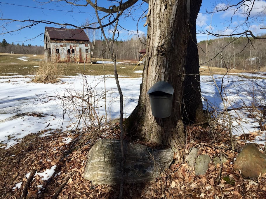 Early Spring is for Maple Sugaring. Come gather some sap with us.