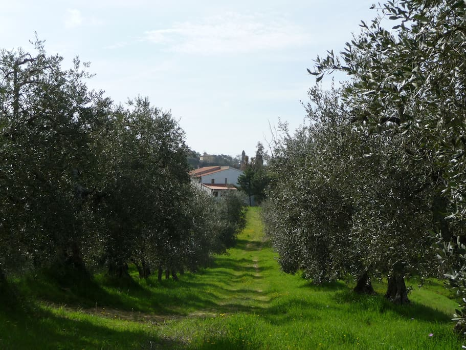 The front of the house, a view from the walkway, in the middle of Leccino, Mignola and Moraiolo olive trees