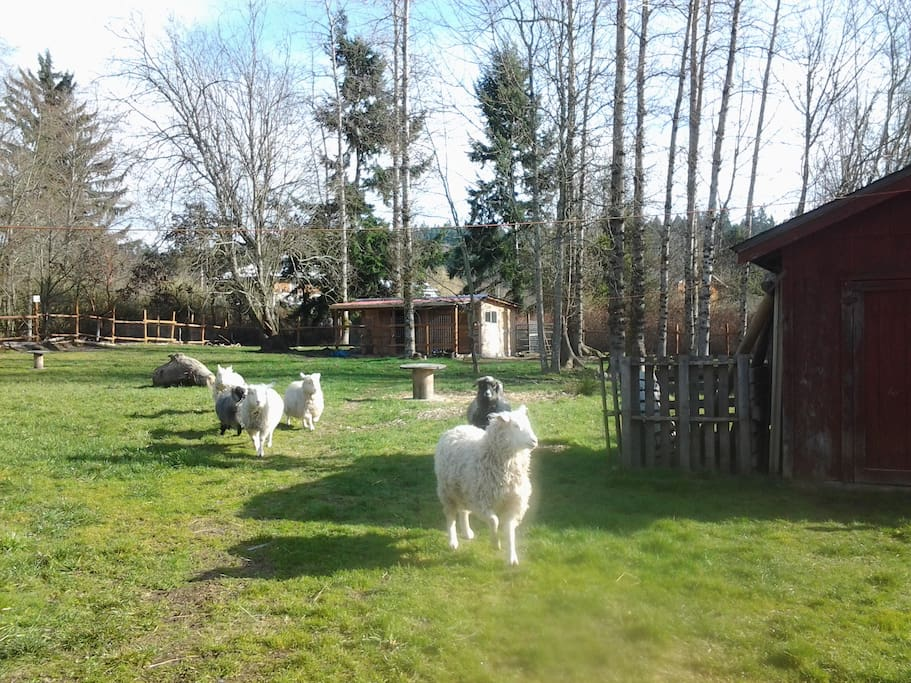These are our 6 Pygora goats