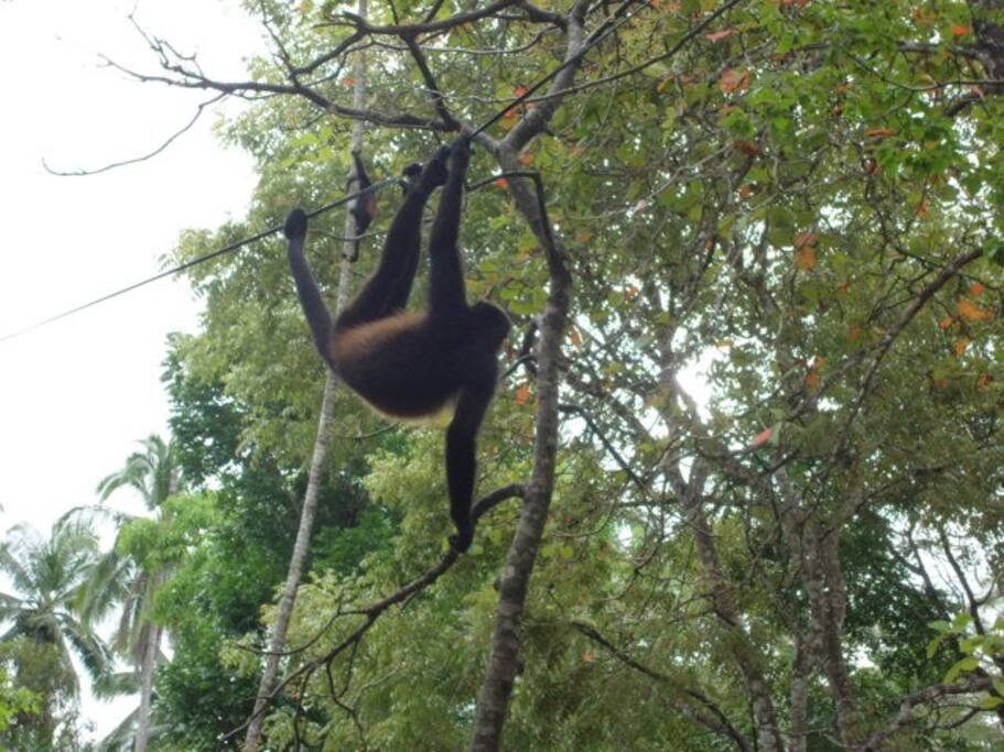 The howler Monkey from Curu National Park 15 minutes from our cabinas