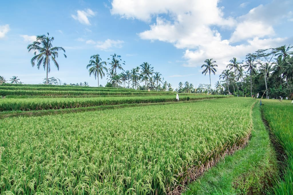 The Rice Fields Around Krisna House