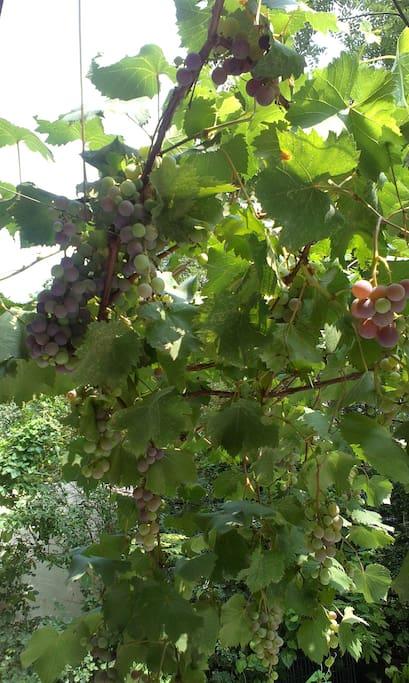 夏天的葡萄藤