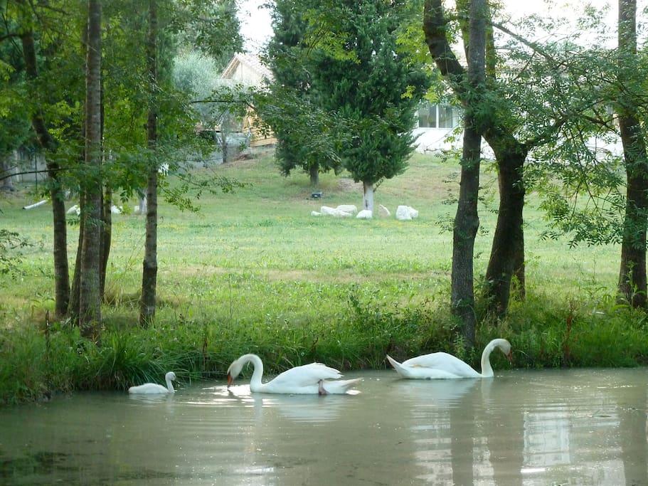 minilake with  wild swanns , ducks etc......