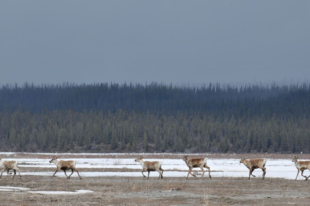 The caribou, right at the end of our airstrip, on the Chisana River.