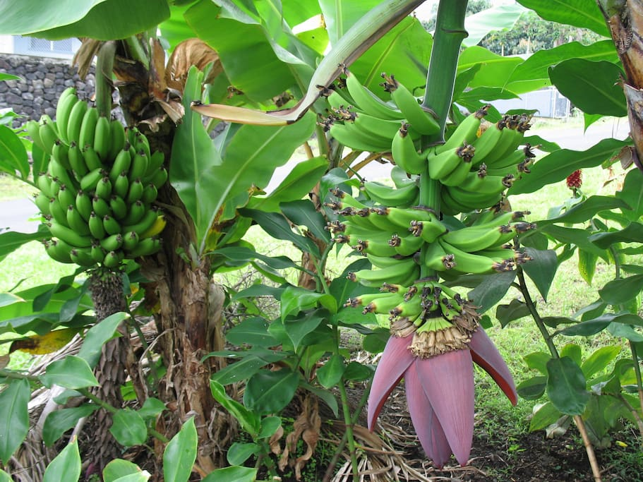 Seasonal Farm Fresh Bananas