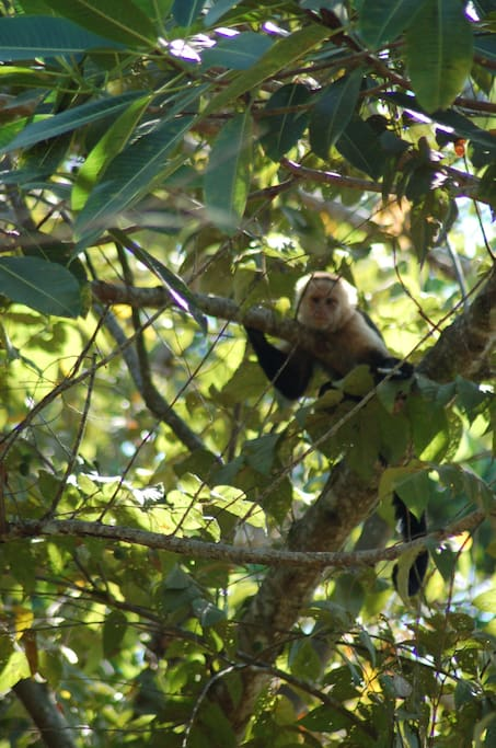 Visiting capuchan monkey