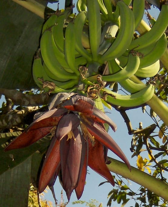 In addition to coffee fields, there are bananas, mangos, citrus trees and more.