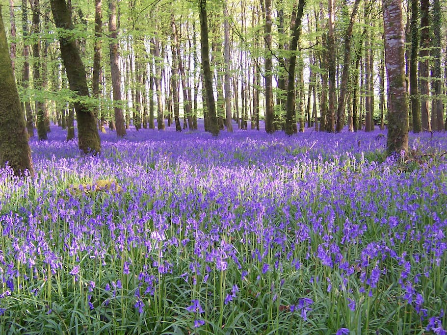 Bluebell Forest just down the road