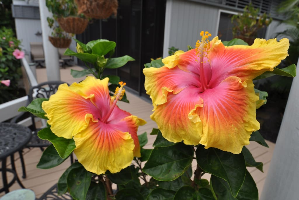 One of the several varieties of hybrid hibiscus on property.
