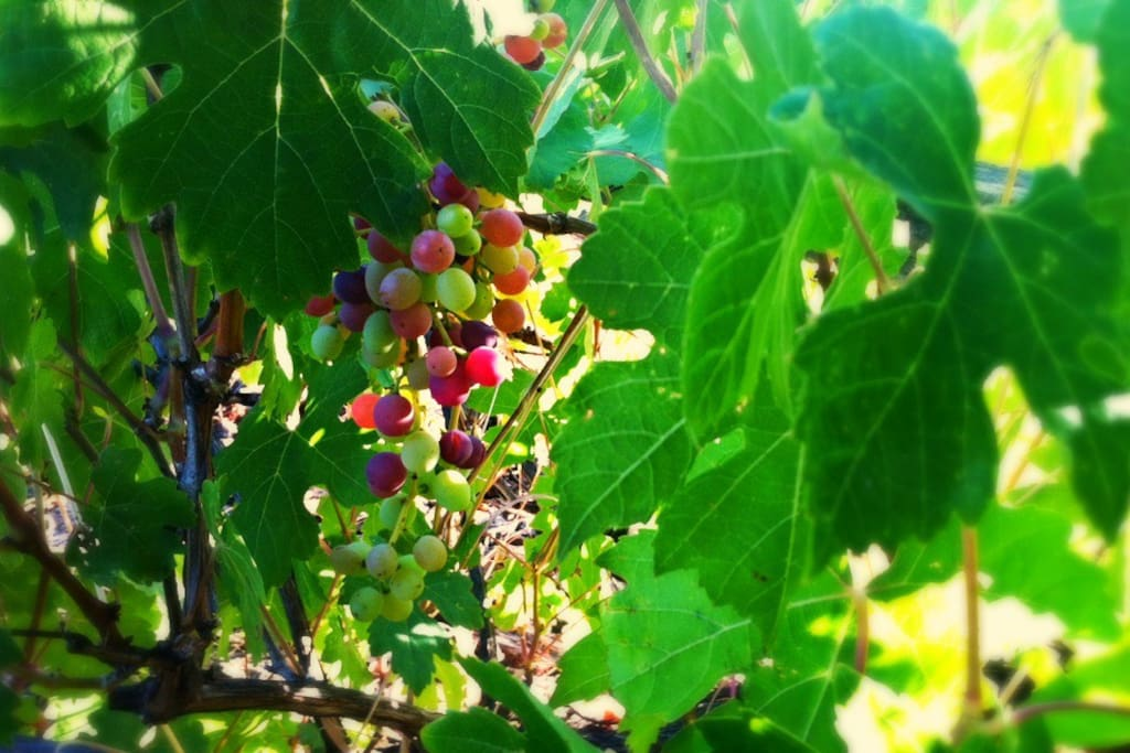 NEW! Summer grapes in backyard