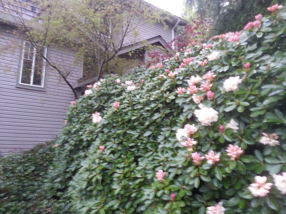 The rhododendrons in the spring....love opening my front door to this.