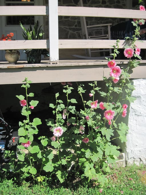 Hollyhocks along the front porch.