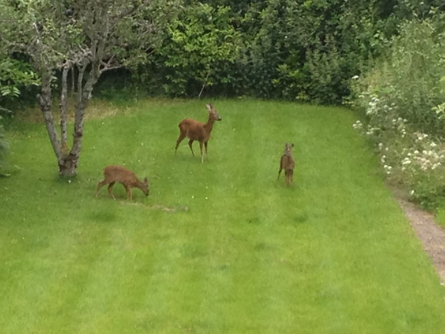 Deer in our back garden making an occasional appearance