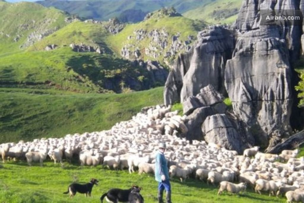 My friend shifting a mob of sheep on her farm