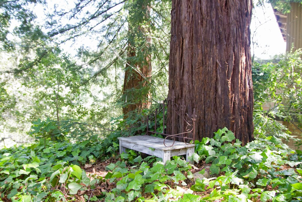 Bench by Coast Redwoods overlooking treehouse