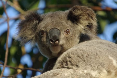 Wild Koalas, Your Own Flat & Pool! - Wellington Point - Apartment