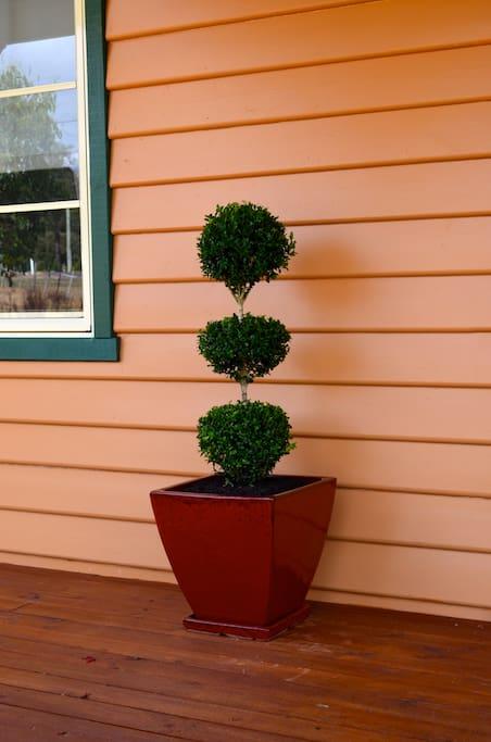 English Box Topiary