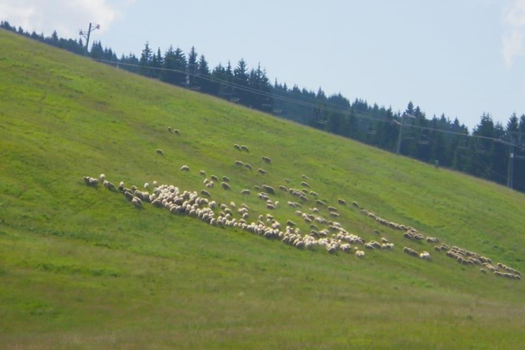 sheeps on Malino Brdo