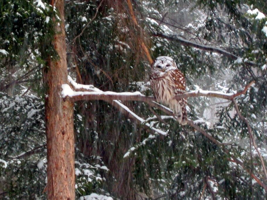 Barred owl in a snow storm. Picture taken sitting on the living room couch.