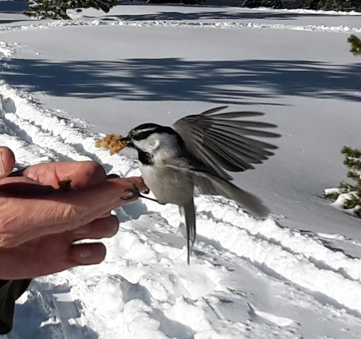 Local wildlife at Chickadee Hill, on Mt Rose, 6 miles from house