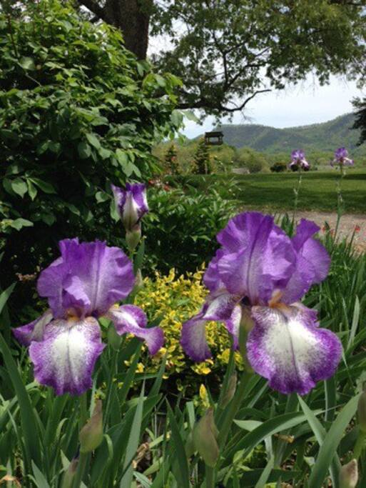 Iris is the state flower of Tennessee. In the Springtime, you'll see them everywhere.