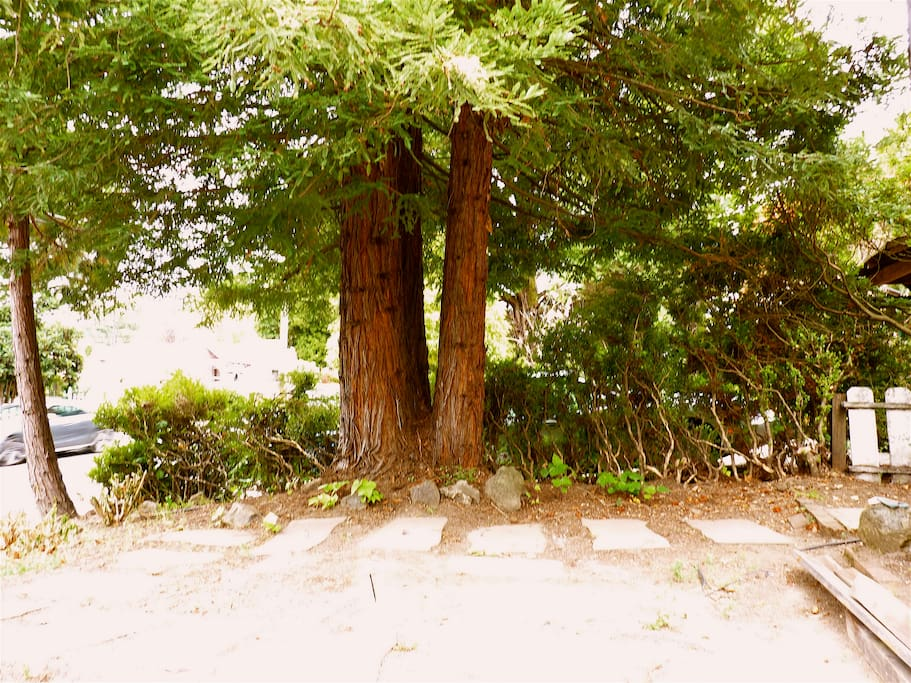 Three redwoods in front yard