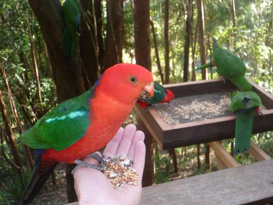 Hand feeding King Parrots
