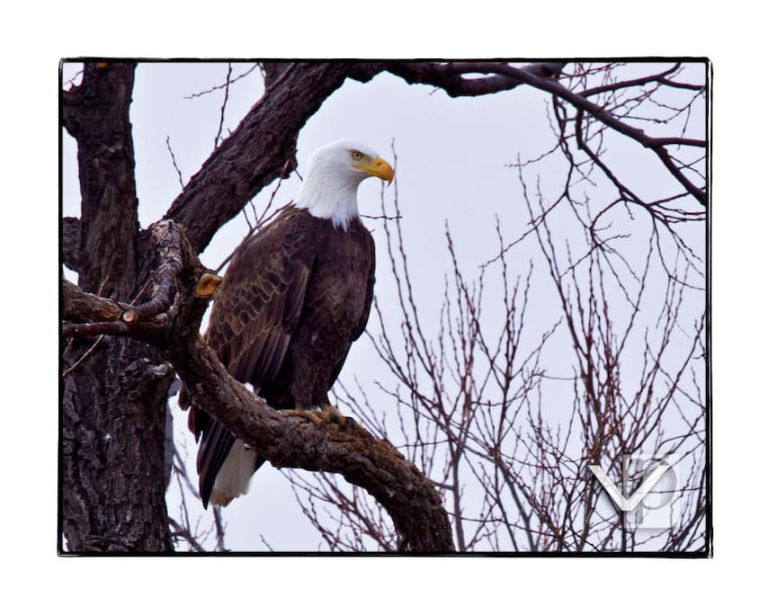 One of our area Eagles, picture taken by local photographer, Ben Vallejos
