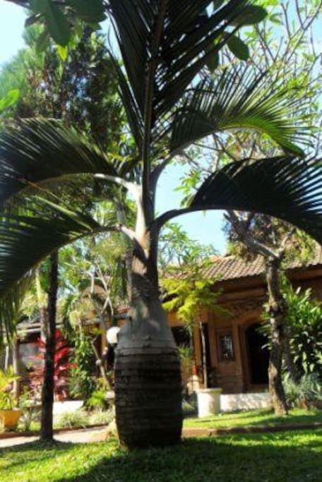 Big beautiful Palm Tree you can enjoy at our Garden