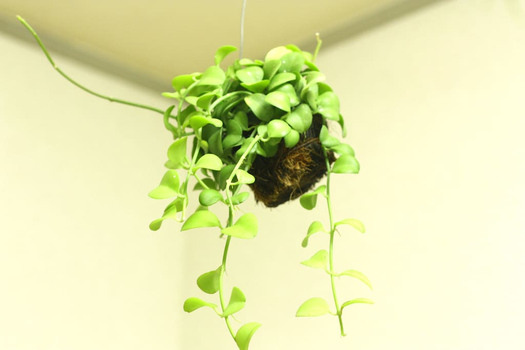 Plants hanging on the ceiling.