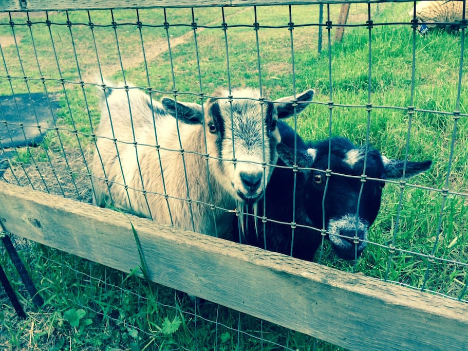 Nigel and Annabelle, the Pygmy Goats, will greet you each morning