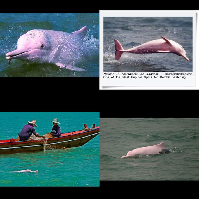 Watching pink dolphin with local tour.
