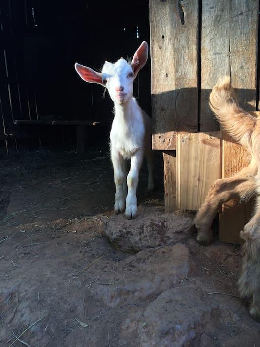 Come bottle feed our three new baby goats!